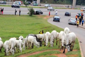 Nigerian Governors Ban Open Grazing, Free Movement Of Cattle In Nigeria